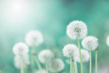 White Fluffy Dandelions, Natur...