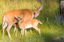 Mother Deer With Two Doe
