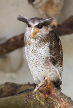 Barred Eagle Owl, Bubo Sumatra...