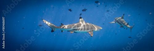 Requins à pointe noire
