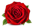 canvas print picture - Fresh beautiful rose isolated on white background with clipping path