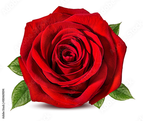 Fresh beautiful rose isolated on white background with clipping path Wallpaper Mural