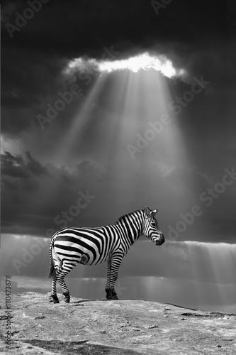 Poster Zebra Zebra in the wild - National park Kenya