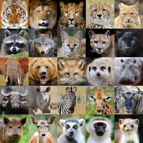 Fototapeta premium Kolaż z portretem zwierząt