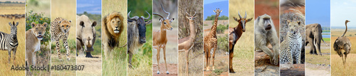 Photo  Collage of african wildlife animal