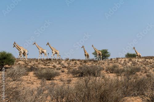 Giraffen im Kgalagadi Transfrontier Park Poster