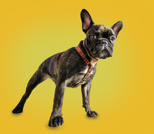 French Bulldog On A Yellow Bac...