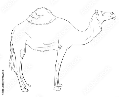 Camel Drawing Vector Illustration - Buy this stock vector