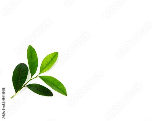 Αφίσα  Studio shot branch of fresh green lemon leaves isolated