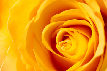 Obraz na Szkle A yellow rose close-up.