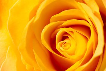 Obraz na SzkleA yellow rose close-up.