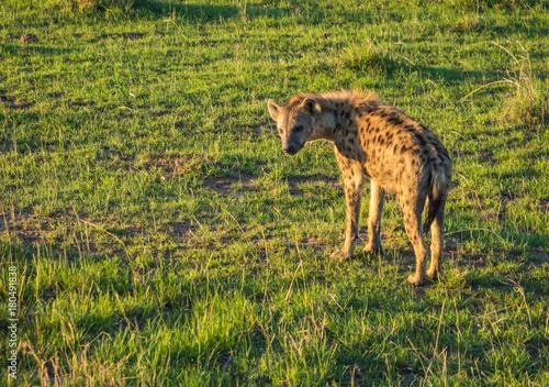 In de dag Hyena Red hyena in Masai Mara in Kenya