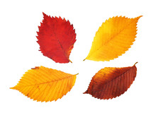 Red, Yellow And Purple Elm Leaves On White Background
