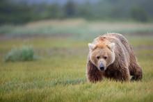 Brown Bear Walking Through The...