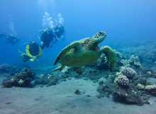 Sea Turtle Swims In Front Of Group Of Divers