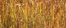 Autumn Cattail Marsh, Blue Cut Nature Center, Lyons, NY (2)
