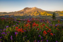 Wildflowers And Mt St Helens Glow At Sunrise