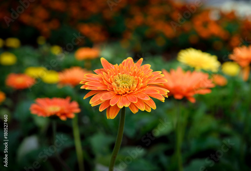 Beautiful gerbera flower in garden