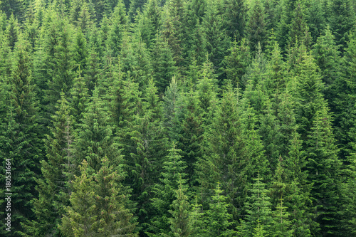 Stampa su Tela fir trees forest background