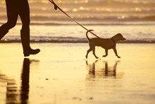 Dog Walking On A Leash On The ...