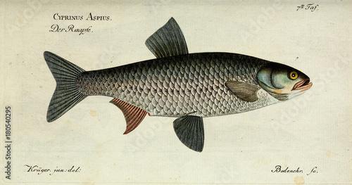 Illustration of a fish. Canvas Print