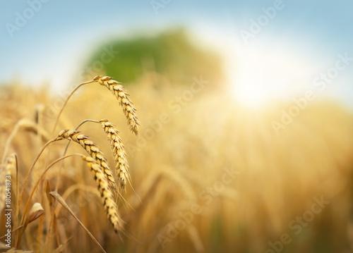 Fotografia Golden cornfield in sunny day