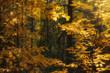 rowan trees in autumn forest illuminated by the sun