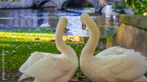 Belgium, Brugge, Begijnhof Couple swans on the shore, looking towards the water, to the Minnehof VOF