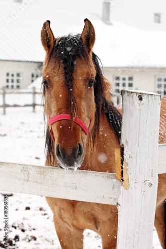 Foto  Crossbreed horse in winter farm