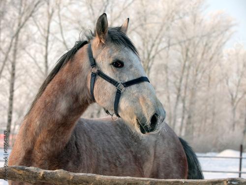 Foto  Crossbreed horse in winter day farm