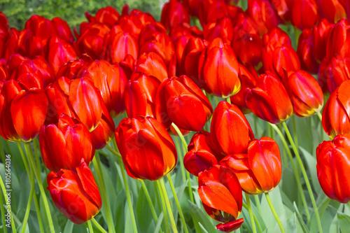 grupa-czerwoni-tulipany-w-parku