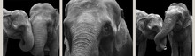 African Elephants Close-up, Is...