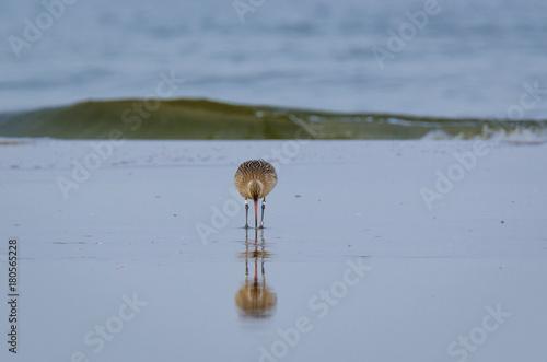Fotografia, Obraz  STINT - Marine birds on the sea beach