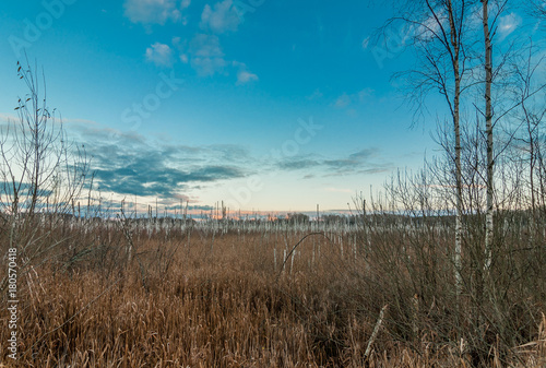Tuinposter Blauwe jeans autumn evening landscape. dried birch trunks in marshland