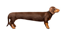 Extra Long Dachshund, Manipulated Image Of A Very Long Dachshund, Standing In Front Of White Background, Studio Shot