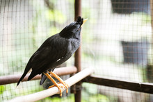White-vented Myna (Acridothere...