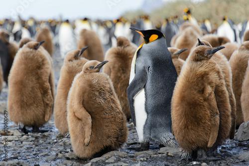 King penguin chicks Canvas Print