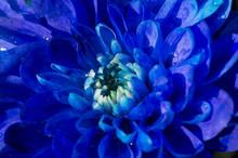 Blauwe Chrysant In Bloei