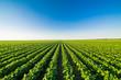 Leinwandbild Motiv Green ripening soybean field, agricultural landscape
