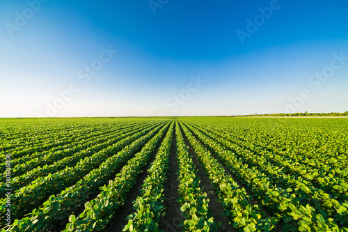Canvas Prints Culture Green ripening soybean field, agricultural landscape
