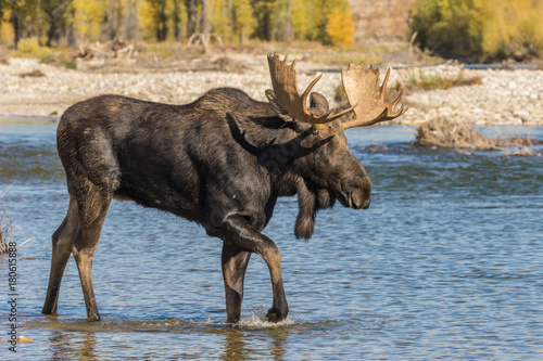 Bull Shiras Moose Crossing a River During the Rut