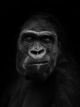 Gorilla Gorilla, The Western G...