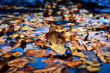 Wet Leaves During Autumn That Have Fallen Into Blue Wet Water, Showing Texture Of Dead Brown Leaves Floating.