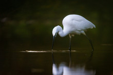 Photo Of Snowy Egret Taken In ...