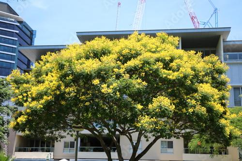 Cassia fistula tree with yellow flowers in brisbane in summer cassia fistula tree with yellow flowers in brisbane in summer queensland australia mightylinksfo