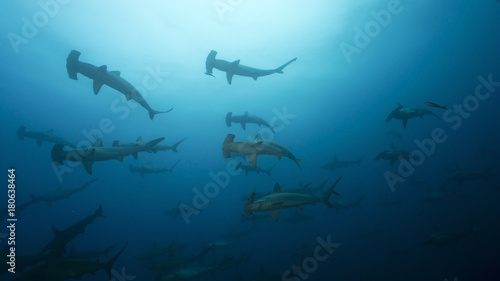 Obraz School of Hammerheads in Galapagos, the Pinnacle of Diving - fototapety do salonu