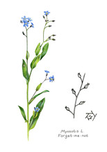 Forget-me-not. Scientific Name...