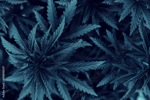 marijuana  background. bush cannabis. Canvas Print