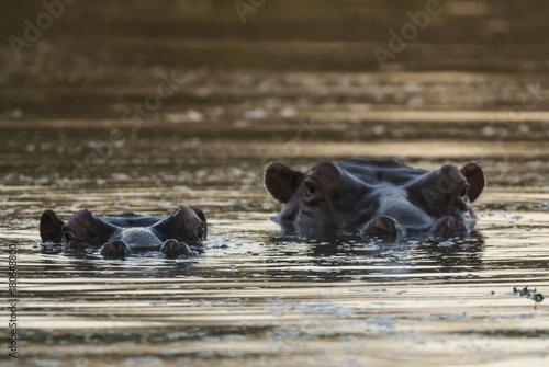Photo HIPPOPOTAMUS AMPHIBIUS, South Africa