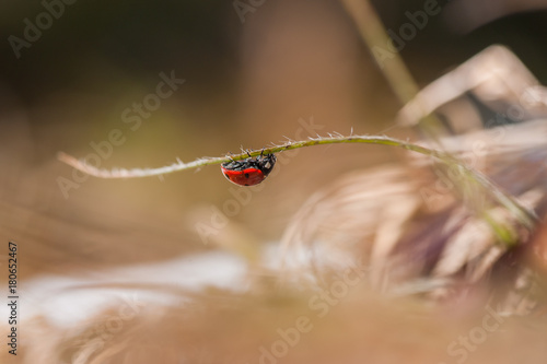 ladybird climbing grass leave Wallpaper Mural